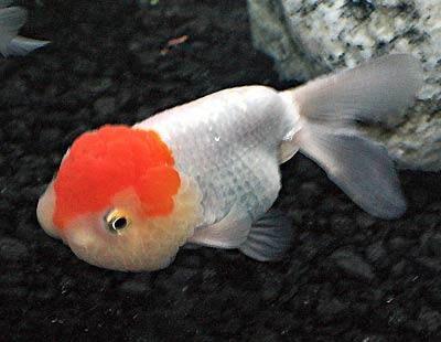 Lionhead Goldfish, Chinese Lionhead Goldfish, Carassius auratus