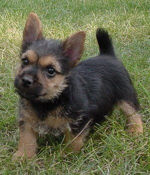 Wat is 'n huis sonder 'n hond  ?  Norwich terriers is soos mini Elsations.