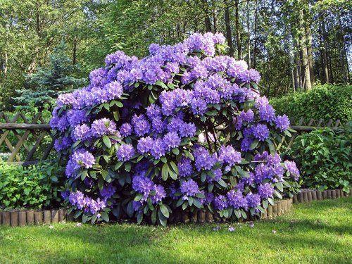 Rhododendron: ombre/mi-ombre