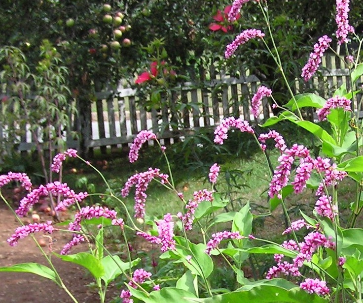 65 Best What 39 S Blooming At Old Salem Images On Pinterest Garden Shop Herbs And Medicinal Plants