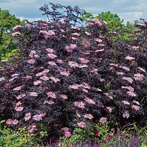 25 best ideas about black lace elderberry on pinterest. Black Bedroom Furniture Sets. Home Design Ideas