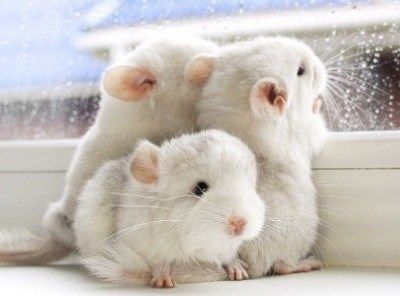 """Only a Bunch Of The Cutest Chinchillas To Make You """"Awww"""" All Day"""