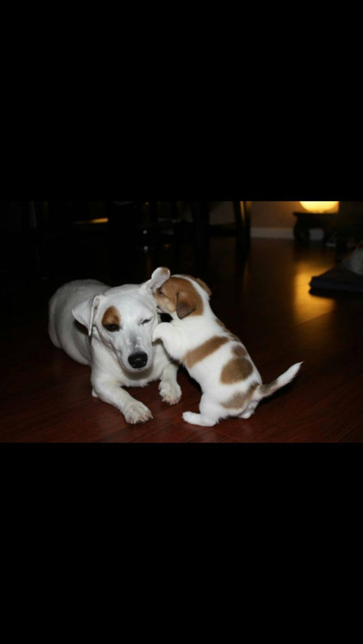 best jack russells images on pinterest jack russell terriers