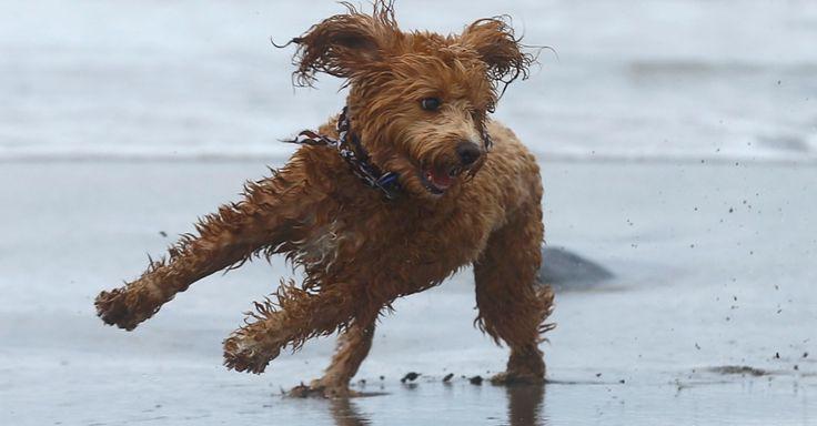 Um cão da raça labradoodlem, híbrido gerado pelo cruzamento de um labrador retriever e um poodle, brinca na areia em Del Mar, na California (EUA)