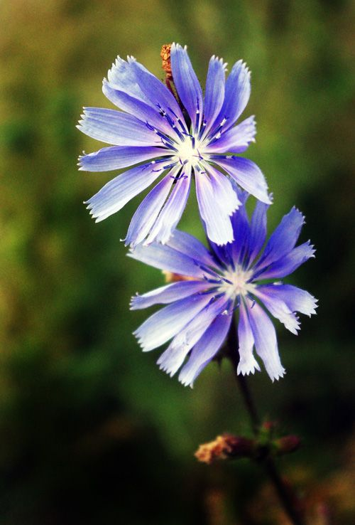 Čekanka Obecná (Cichorium intybus)
