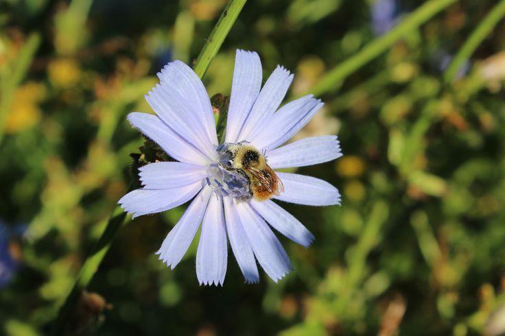 Bourdon sur une fleur de chicorée sauvage