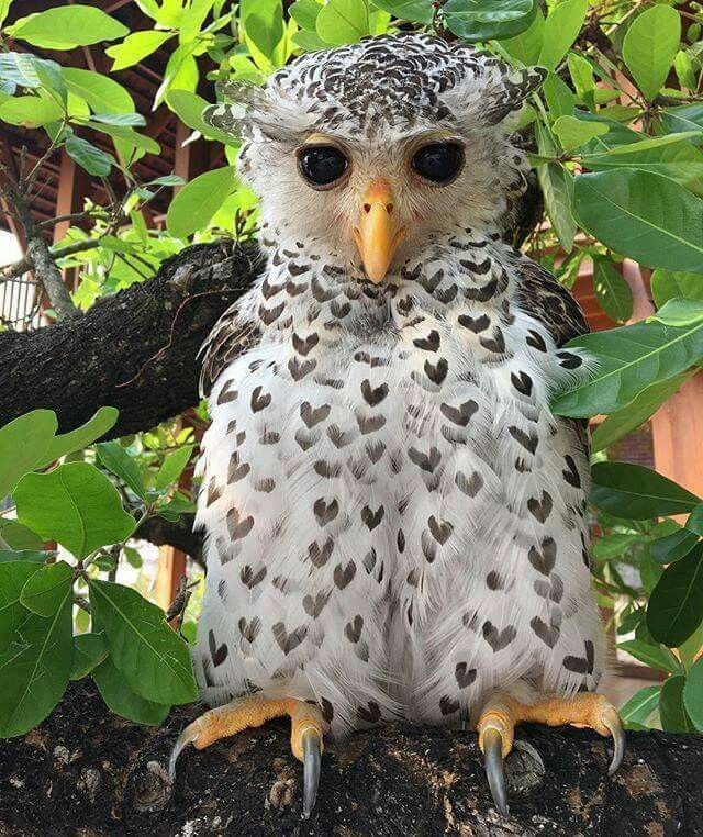 The spot-bellied eagle owl has black hearts on his feathers black ♥ ♥