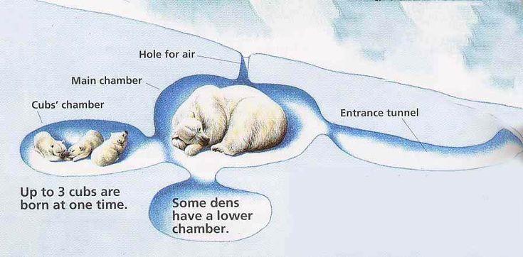 Polar Bear Snow Dens | The female polar bear is smaller than the male polar bear.