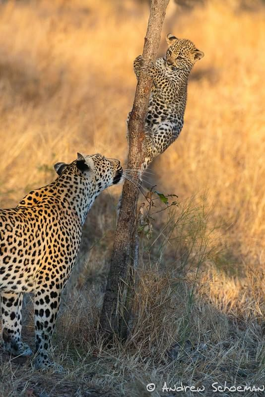 Leopard cub on a tree climbing practice at Inyati Private Game Reserve by Andrew Schoeman whilst leading a photosafari with Africa Photography Travel