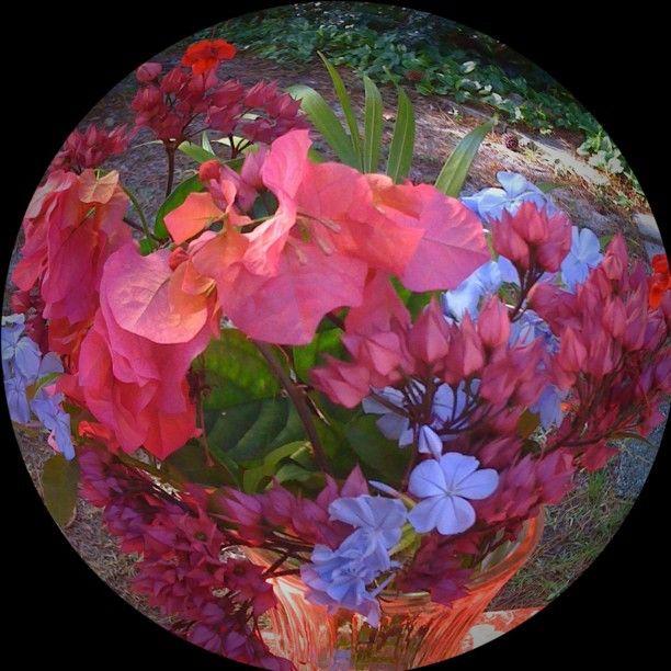 Fish-eye flowers. Bougainvillea, Plumbago, and Fuchsia by jerseygirlinfl: Fisheye Flowers, Fisheye Lens, Photo