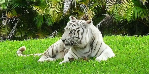 Eén enkele verandering in een pigment-gen. Meer is er niet voor nodig om tijgers een spectaculaire witte vacht te bezorgen.  http://www.scientias.nl/wetenschap-ontrafelt-mysterie-van-de-witte-tijger/87103