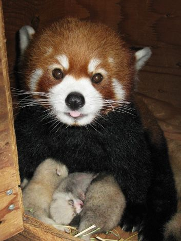 Red Panda & Cubs - We have our eyes on the Red Panda triplets from North Dakota's Red River Zoo. As with the Giant Panda, female Red Pandas are only fertile for just one day a year and can delay implantation until conditions are favorable.
