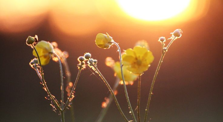 Flowers in the midnight sun. Finland. #midnightsun #finland #flowers #meadowbuttercup #meadow #buttercup