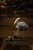 Mute Swan (Cygnus Olor) Grooming It's Feather. Royalty Free Stock Photo, Pictures, Images And Stock Photography. Image 14956248.