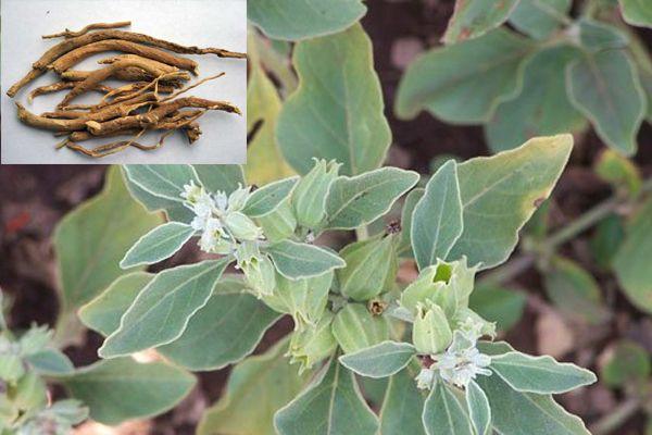 Ashwagandha / Winterkirsche / Schlafbeere (Withania somnifera) ist eine vielseitige Rausch- und Heilpflanze. Sie wirkt beruhigend, gegen Stress und mehr!