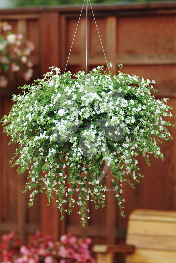 Bacopa 'Snowtopia' is a pretty trailing half-hardy annual. It is ideal as a filler for hanging baskets and containers, and flowers for many months.