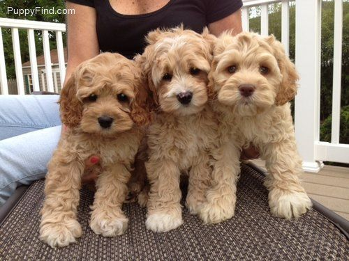 Are Goldendoodles Good Watch Dogs