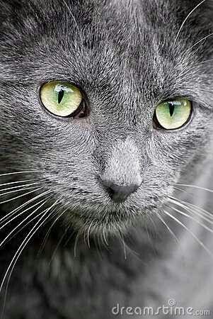 Grey tail-male- brooke