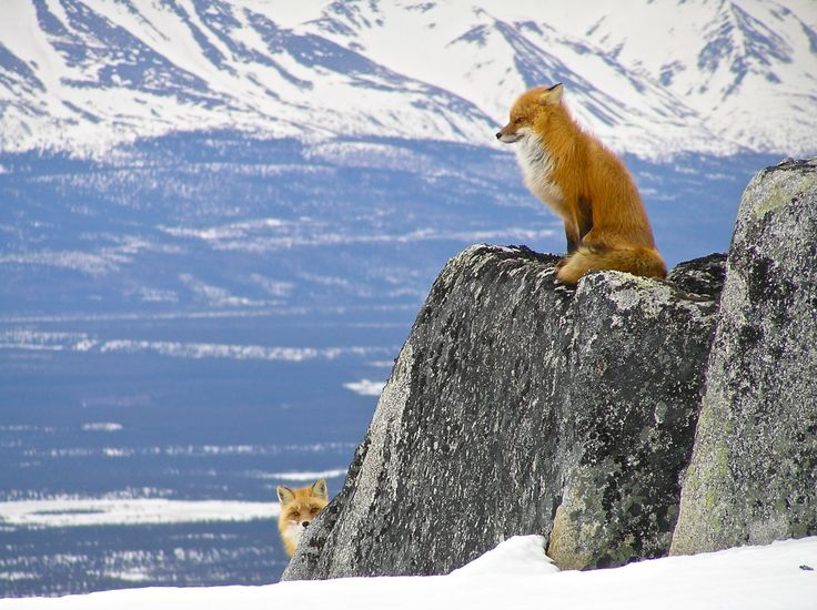 fox peeks around a rock as another fox on the rock looks into the distance