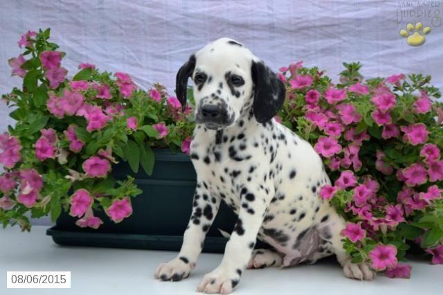 Dalmatian Puppy for Sale in Ohio