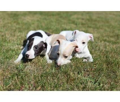 italian greyhound | Italian Greyhound Puppies!! for Sale in Beaverton, Oregon Classified ...