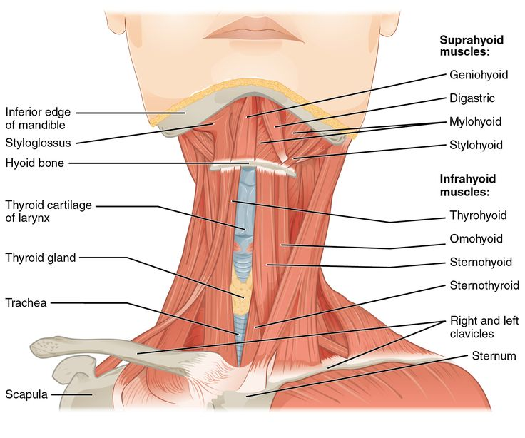 Anterior Triangle Of Neck - Health, Medicine and Anatomy Reference Pictures