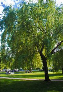 INSTANT SURVIVAL TIP: Willow Bark – Nature's Painkiller