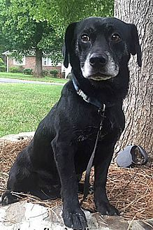 Pictures of Lincoln a Labrador Retriever for adoption in Harrisville, RI who needs a loving home.