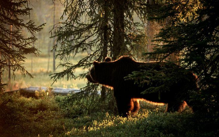 Volvo Cross Country Travels - No 30 Bear Safari, Kainuu Forest