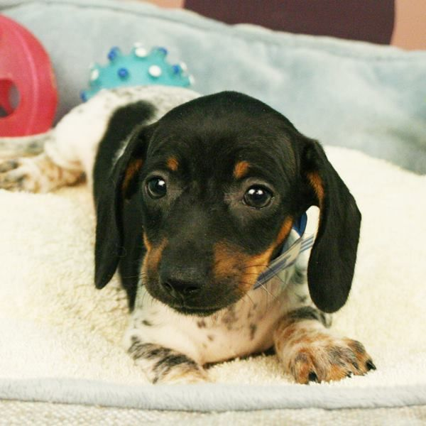 Check Out This Adorable Dachshund Puppy Who Just Hit Our Stores