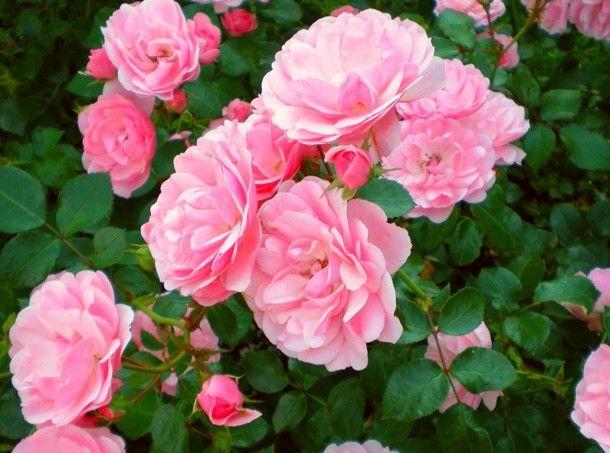 Осенняя посадка роз. Как посадить розы осенью