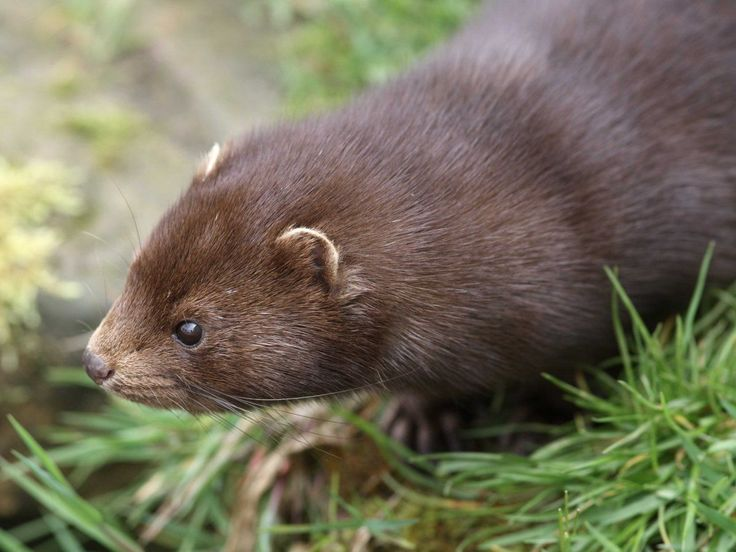 The American mink is very energetic, and highly adept at both climbing trees and swimming. They are also raised in fur farms, making the mink the most world's most frequently farmed animal for its fur, exceeding the silver fox and sable.