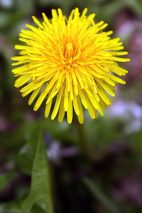 the wonderful Dandelion!: Rose Herbs, Mountain Rose, Photo