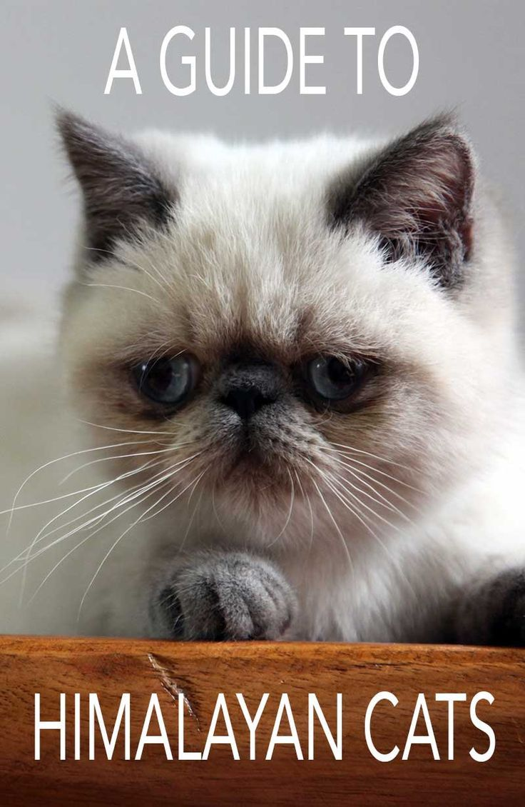 Himalayan Cat A Guide To The Breed Himalayan cat, Cat