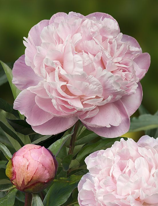 nick shaylor peony | Peony of the week! 'Nick Shaylor'. (http://www.green-works.nl/en/peony ...