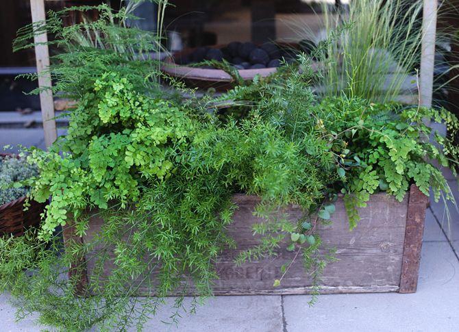asparagus, adiantum, ormbunkar och murgrönor.