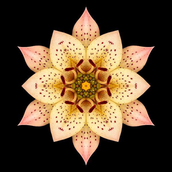 Resultat av Googles bildsökning efter http://www.phototransformations.com/media/blog/phototransformations/Asiatic_Lily_II_600x600.jpg