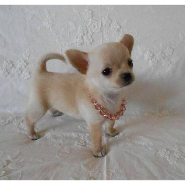 Adorable Teacup Chihuahua