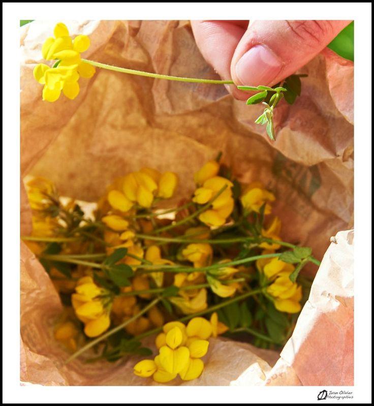 Cueillette au pied des voies: Lotier corniculé – Lotus corniculatus