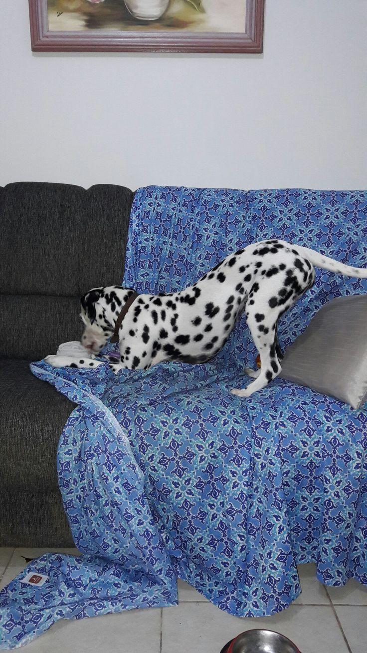 Fazendo arte!   #dalmatian #doglover #dogstyle #dalmata #dog #pet