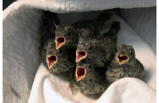 Wildlife: The Wildlife Rescue Association of B.C. sent in shots of some of the nestlings and fledglings that have been in their care in recent weeks, including these five young House Finches. For more information on the Burnaby-based organization, see www.wildliferescue.ca.