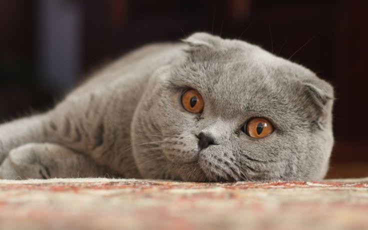 Oklapnięte uszy u kota