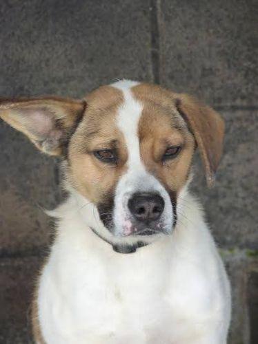 Brutus type beagle sexe m le age adulte couleur - Chien beagle adulte ...