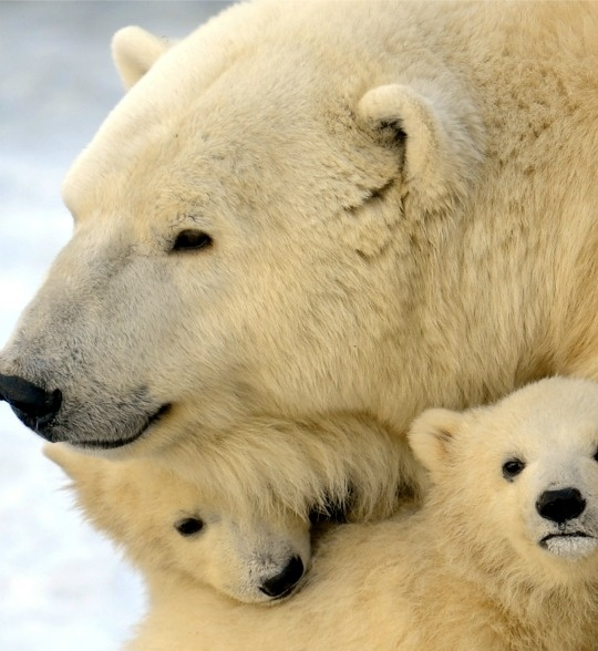 polar bear extinction The world's polar bear population is on the increase despite global warming, which scientists had believed was pushing the animal towards extinction.