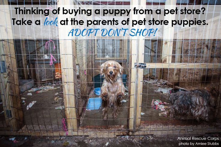 Thinking of buying a puppy from a pet store? Take a look at the parents of pet store puppies first. Adopt, Don't Shop! #nomorepuppymills