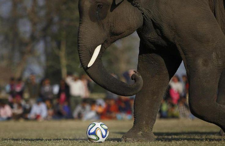Un elefante gioca con un pallone da calcio durante un festival di elefanti nel Parco nazionale di Chitwan, in Nepal