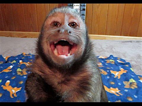 Capuchin Monkey Bedtime Crybaby CUTE