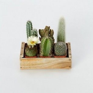 cacti in wooden box