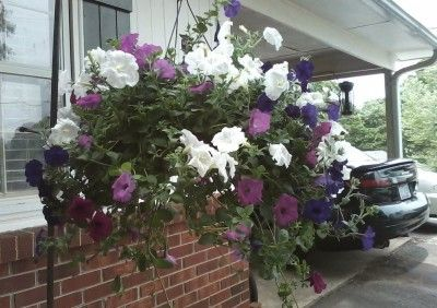 Hanging Petunia Plants: Tips On Caring For Petunias In Hanging Baskets - If you're not sure what to plant in your hanging baskets, you can't go wrong with hanging petunia plants. With only a bit of effort on your part, petunias will reward you with masses of bright color all summer. Learn more in this article.