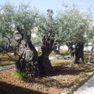 2000+ year old olive trees -  Picture taken at the Garden of Gethsemane in Jerusalem Israel